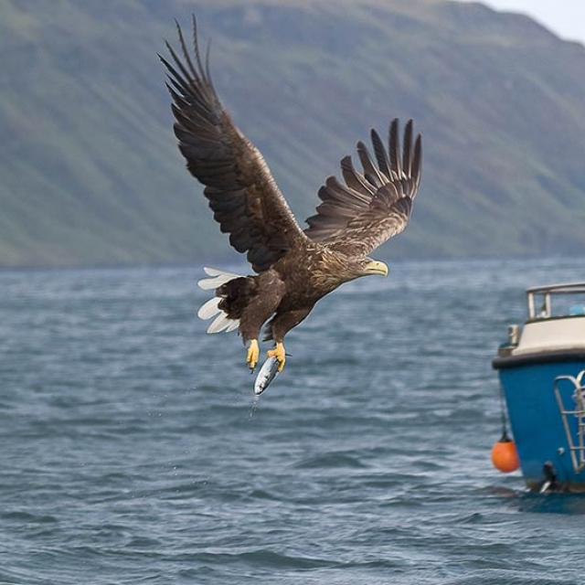 Sea-Eagle-Portree ©stardust boat trips
